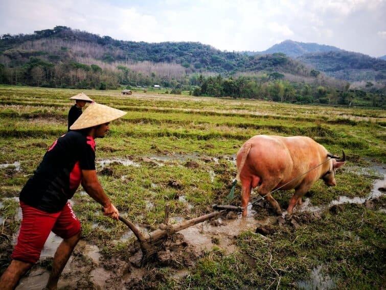 Living Land Rice Farm In Luang Prabang