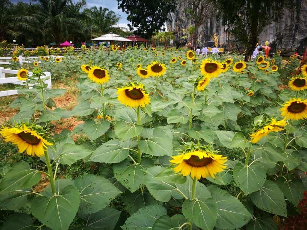 Sunflower Garden In Satun