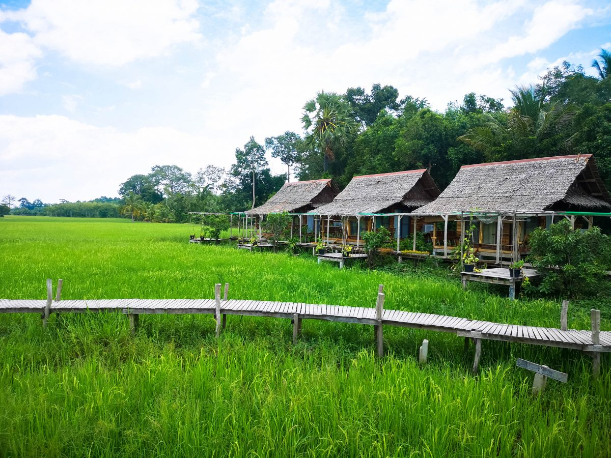paddy field Sampao Thai Phattalung