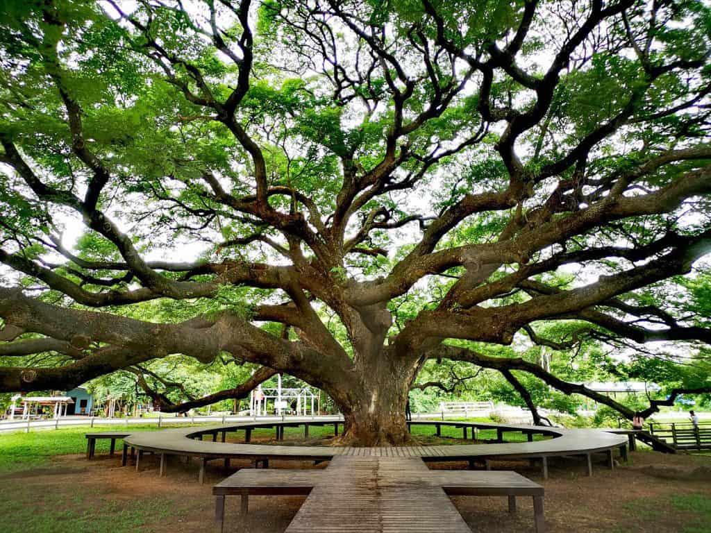 Giant Raintree