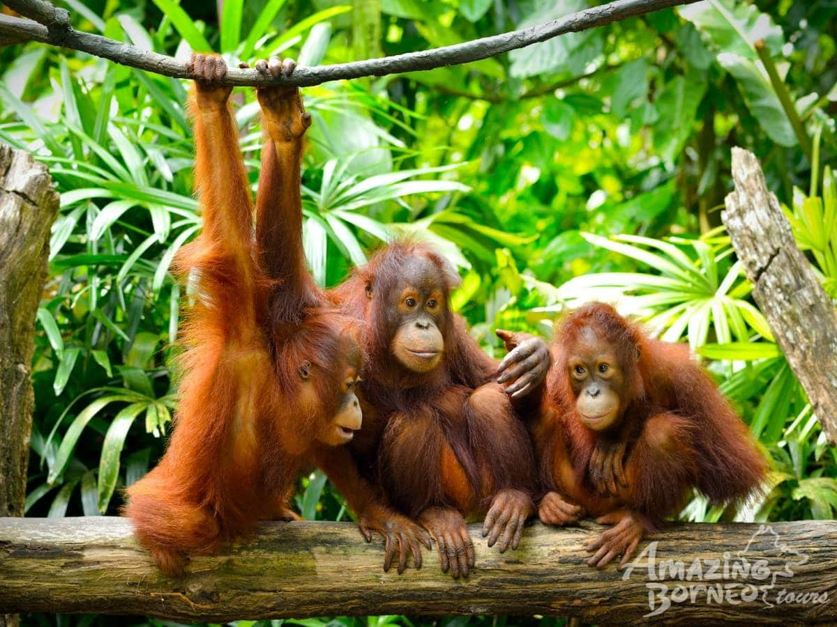 Sepilok Orangutan Rehabilitation Centre (Sandakan)