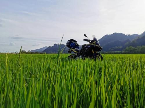 Paddy Field in Perlis
